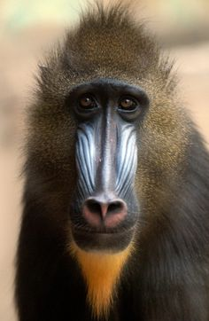 Oh, my sweet baby Mandrill, what a lovely little face...   They have a gigantic male Mandrill at the Houston Zoo that is pretty terrifying, with his 3-inch long teeth.