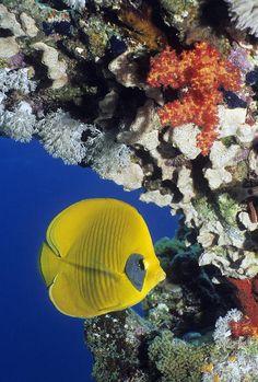 Bluecheek #Butterflyfish  Red Sea  #Egypt