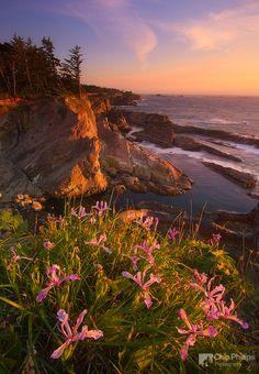 """Cape Arago Irises""  Wildflowers at sunset, seen along the cliffs of Cape Arago on the Oregon Coast."
