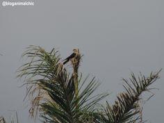 Carrapateiro (Milvago chimachima) fotografado em Igarapés/MG, em Abril/14.
