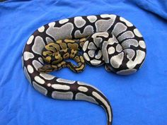 Desert Ghost Ball Python