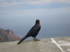 Magpie on the Table Mountain
