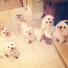 Maltese Dogs and Pregnancy - - Yahoo Image Search Results Cute Family, Family Dogs, Saccone Jolys, Anna Saccone, Youtube Dogs, Animals And Pets, Cute Animals, Pregnancy Images, Good Morning Friends