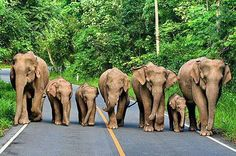 An Elephant family travels the road together.. .