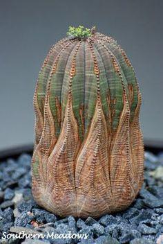photo by Karin, Southern Meadows: November 2011, Euphorbia obesa