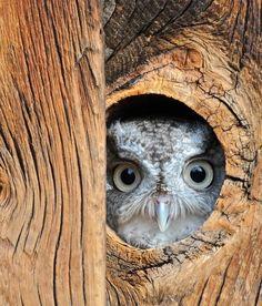 funkysafari:    Peek a boo. (screech owl)  by mtngirl911