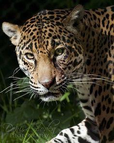 #animals #nature #jaguar