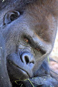 Western lowland gorilla.  Love that face!