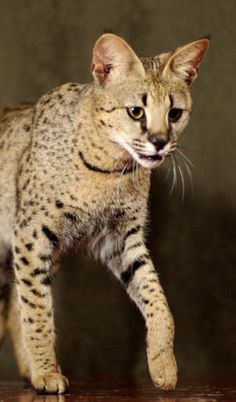 savannah cats; cross between African Serval and a dosmesticated cat