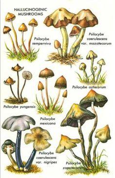 More Shrooms Please Growing Mushrooms, Wild Mushrooms, Stuffed Mushrooms, Mushroom Art, Mushroom Fungi, Mushroom Hunting, Mushroom Identification, Psilocybin Mushroom, Survival Tips