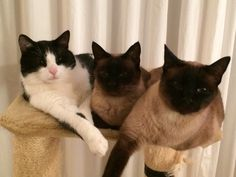 Siamese mum with her 2 boys