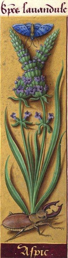 Aspic - Species lavandule (Lavandula spica L. = lavande aspic) -- Grandes Heures d'Anne de Bretagne, BNF, Ms Latin 9474, 1503-1508, f°23r