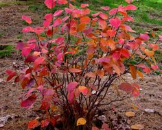 Fothergilla 'Blue Shadow' autumn color.  Lovely, useful in the garden, but not really local.