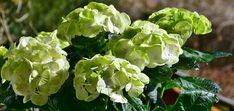 HYDRANGEAS WITH GREEN FLOWERS – WHAT IS THE REASON FOR THAT?
