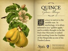 Quince (Cydonia Oblonga) from The Lost Gardens of Babylon, a Guide to Ancient Plants
