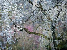 Imperial Blossoms - Ανθισμένη κερασιά στον κήπο του Imperial Palace στο Kyoto της Ιαπωνίας / φωτό: Yukio Miki