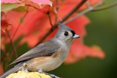 Tufted Titmouse a favorite at our feeder