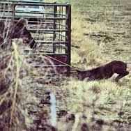A big, brave BLM employee drags a wild foal to the capture pens at a BLM gather.