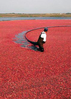 Harvesting cranberries at the Nantucket Cranberry Bog.