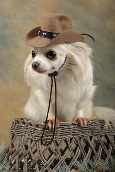 Chihuahua cowgirl- Yeeee haa !!!! ♥ Yuppypup.co.uk provides the fashion conscious with stylish clothes for their dogs. Luxury dog clothes and latest season trends, Dog Carriers and Doggy Bling. . Please go to http://www.yuppypup.co.uk/