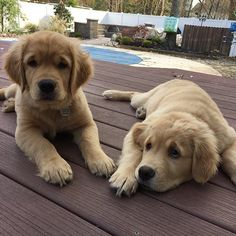 Look at these little bundles of joy @comet_and_scooter (Facebook link in profile) by ilovegolden_retrievers