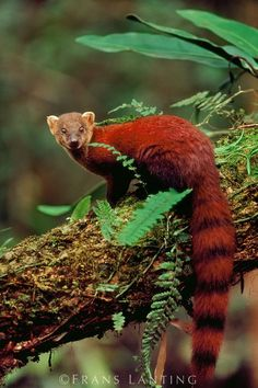 Ring-tailed mongoose, Galidia elegans, Ranomafana National Park, Madagascar