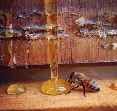The honey has a lifespan typically of less than 40 days. During that time she will visit over 1000 flowers, producing 1 Teaspoon of sweet honey. For us, it's just a teaspoon, but for her, it's work of a lifetime. So THANK the BEES.... #honey_bee #honey_bees #lifespan_of_a_honeybee #manukahoneyusa