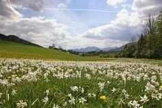 Narzissenwiese im Mariazellerland