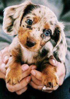 Dachshund Puppies, Weenie Dogs, Dachshund Love, Cute Puppies, Adorable Dogs, Dachshund Clothes, Dachshund Gifts, Cavapoo Puppies, Doggies