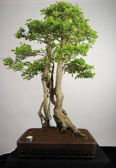 Bonsai Duranta, no. Bonsai Garden, Bonsai Trees, Duranta, Landscape Architecture Design, Miniature Trees, Tree Forest, Growing Tree, Landscaping Plants, Amazing Gardens