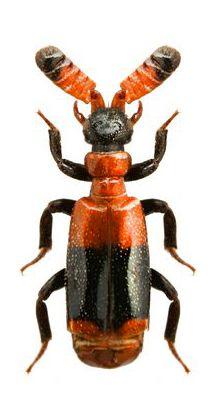 Ceratoderus bifasciatus