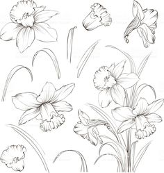 Set of line drawing narcissus. Set of line drawing narcissus. timjingnee timjingnee 大学功课题材 Set of line drawing narcissus vector illustration royalty-free […] flower tattoo Flower Line Drawings, Flower Sketches, Drawing Sketches, Art Drawings, Contour Drawings, Drawing Faces, Drawing Tips, Daffodil Day, Daffodil Tattoo