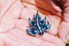Blue Angel Slug