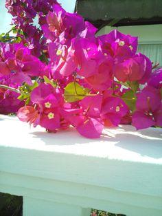Bougainvillea in my sister's garden