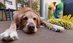 Housekeeping & Cleaning Tips for Dog Owners Skunk Smell, Window Squeegee, Dog Sling, Flotsam And Jetsam, Dog Nails, Kiddie Pool, Dog Selfie, Dog Teeth, Dry Dog Food