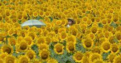 20150726 - Sobre os ombros do pai, garoto se destaca entre as flores num campo de girassóis em Nogi, no Japão. O campo, com mais de 200 mil flores, é um dos destaques para turistas que visitam a cidade. PICTURE: Kazuhiro Nogi/AFP
