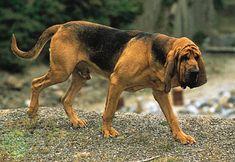 The dog in world: Bloodhound dogs #bloodhound puppies