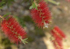 Banksia, Blue Mountains, Aus Blue Mountain, Dandelion, Mountains, Flowers, Plants, Dandelions, Flora, Plant, Royal Icing Flowers