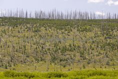 yellowstone regrowth | ... Yellowstone National Park Established 1872, unlicensed use prohibited