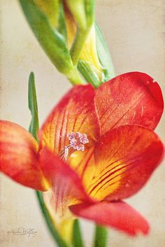 Freesia - The BEST smelling flower ever!