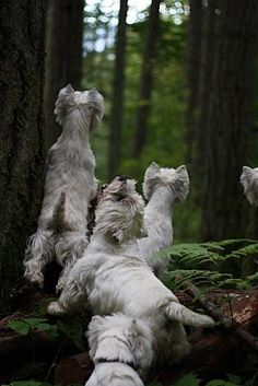 Westies Squirrel Hunting. Oh, h0w ThE Westies want to get tHEm s0mE sqUiRReLs!