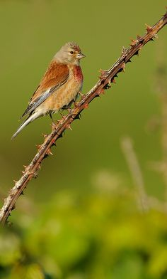 """The Linnet is called bigein Bride """"little bird of Bride"""", said to whistle his song to her every morning. In Scottish myth the linnet was the first to greet her after Angus freed her from the Cailleach on Imbolc."""