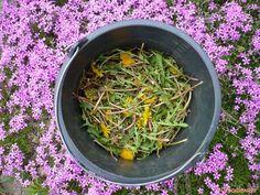 To gnojówka do nawożenia agrestu, truskawek czy borówek. Do jej przygotowania potrzebny jest mniszek lekarski, ale koniecznie z kwiatami, oraz woda.