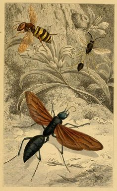Antique Hymenopteres (wasp) print