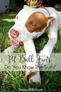 Pit Bull Facts: Do You Know The Truth   http://www.thelazypitbull.com/pit-bull-facts-do-you-know-truth/