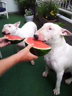 bull terriers eating watermelon