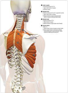 Anatomía romboideos, elevador de la escápula y serrato anterior