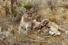 Cougar and her cubs