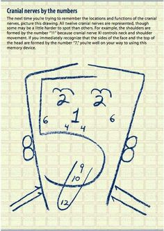 Cranial nerves by the numbers.clever way to remember which cranial nerve controls what! This would have been helpful when I was in school! Nursing Notes, Nursing Tips, Ob Nursing, Pa School, Medical School, Optometry School, School Tips, Athletic Training, Student Nurse