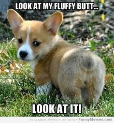 Here is a corgi.  That wants you to look at its butt.  Hey--you're the one that likes them.